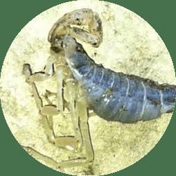 Scorpion Exterminator