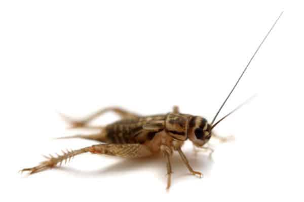 cricket control