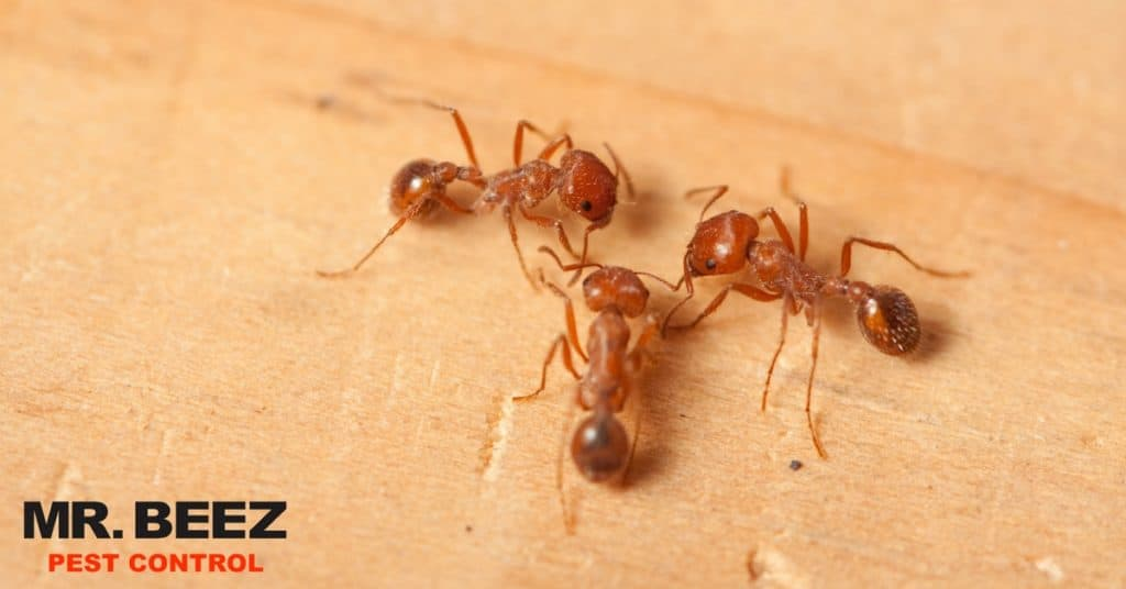 Fire Ant Prevention - Mr. Beez Pest Control